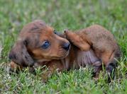 PLAYFUL  DACHSHUND PUPPIES FOR REHOMING